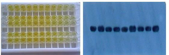 多抗制备|多克隆抗体制备|西宝生物-专业技术服务-热线4000218158