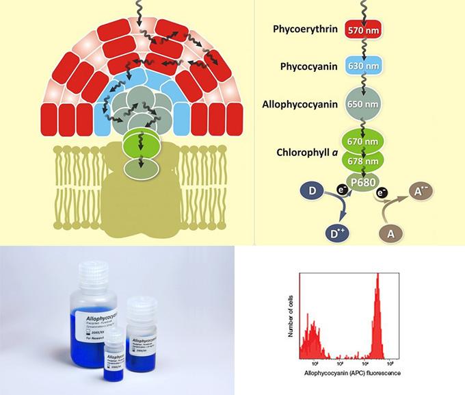 别藻蓝蛋白 Allophycocyanin, APC