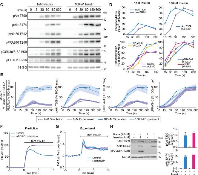 端胰島素信號傳導的機制模型
