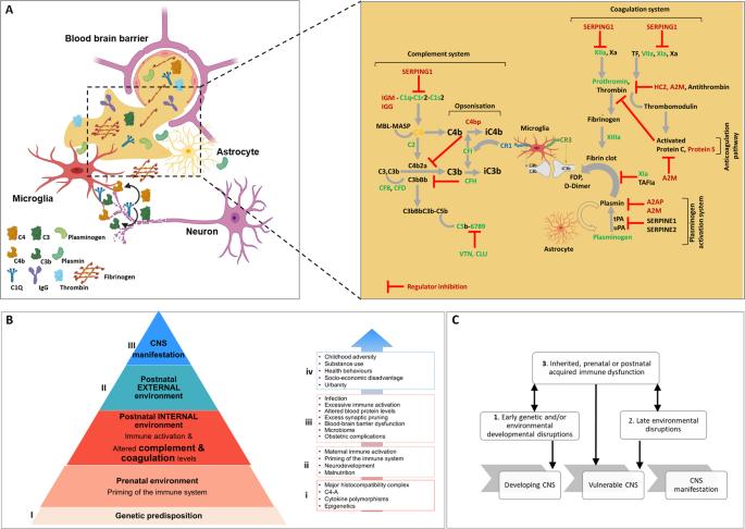 感染和炎症影响精神病进展的机制