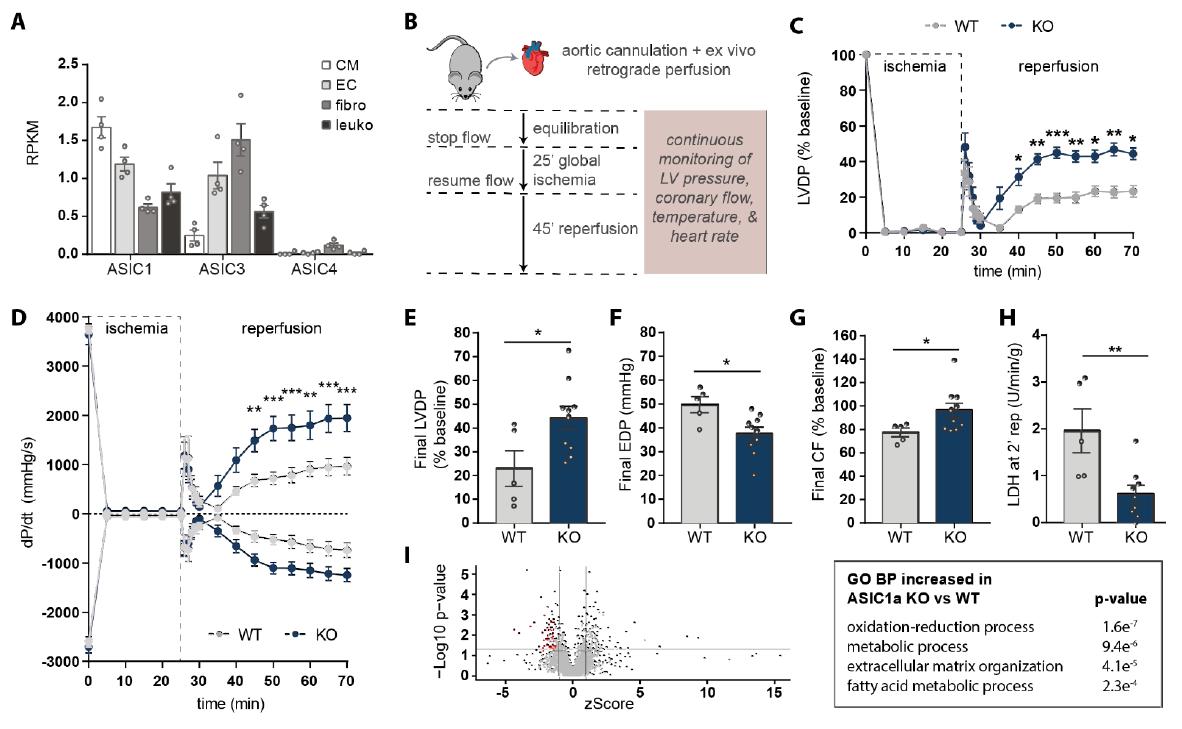 敲除ASIC1a基因后的小鼠心脏得到了更好的保护