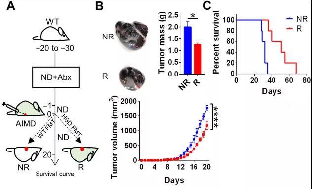 双歧杆菌增加激活了NK细胞进而促进肿瘤免疫