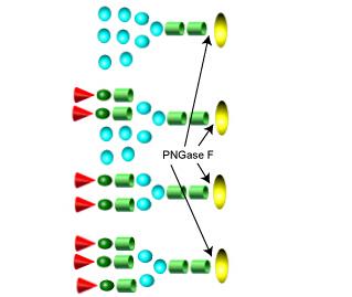 Endoglycosidases 内切糖苷酶